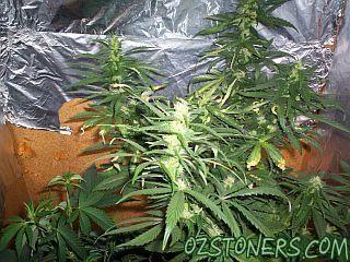 Hash Plant x Blue Berry