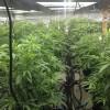 10292014 i502 cannabis cultivation #4