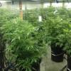 10292014 i502 cannabis cultivation #2